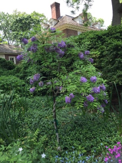 Wisteria fructescens and mansion